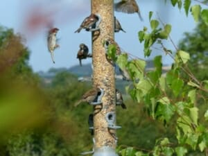 Tree Sparrows on Birdfeeder at Sun Rising Natural Burial Ground and Nature Reserve