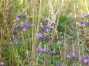 Wild Basil at Sun Rising Natural Burial Ground and Nature Reserve