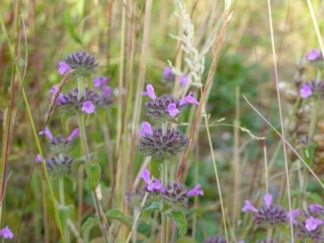 Wild Basil at Sun Rising Natural Burial Ground and Nature Reserve