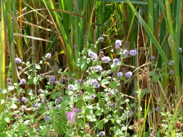 Water Mint, Bulrushes, Great Willowherb at Sun Rising Natural Burial Ground and Nature Reserve