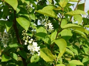 Bird Cherry Blossom  at Sun Rising Natural Burial Ground and Nature Reserve