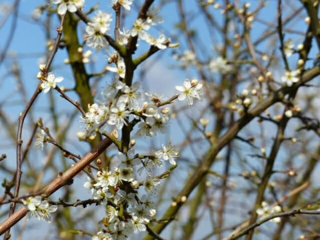 Blackthorn Blossom at Sun Rising Natural Burial Ground and Nature Reserve