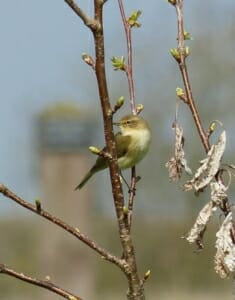 Chiffchaff in Wild Cherry  at Sun Rising Natural Burial Ground and Nature Reserve