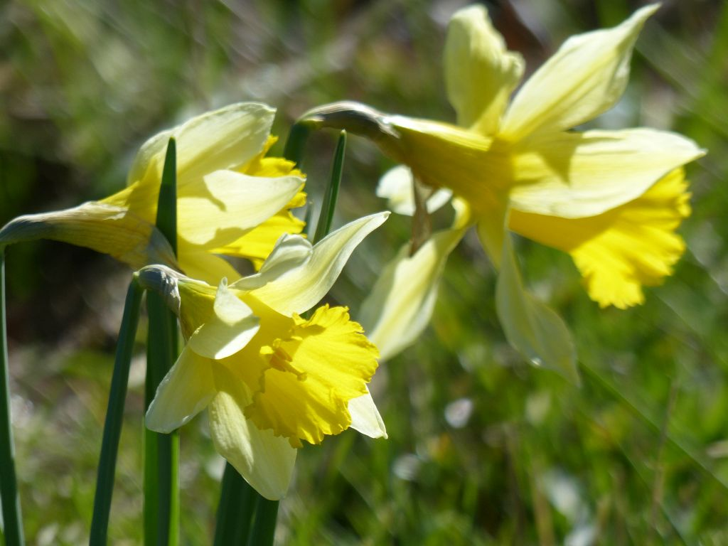 Wild Daffodils (Narcissus pseudonarcissus) at Sun Rising Natural Burial Ground and Nature Reserve