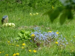 Forget Me Nots, Dandeliosn, Cowslips and Primroses by Memorial Tree Plaque at Sun Rising Natural Burial Ground and Nature Reserve