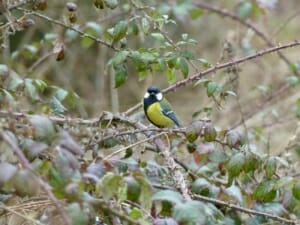 Great Tit on Winter Bramble  at Sun Rising Natural Burial Ground and Nature Reserve