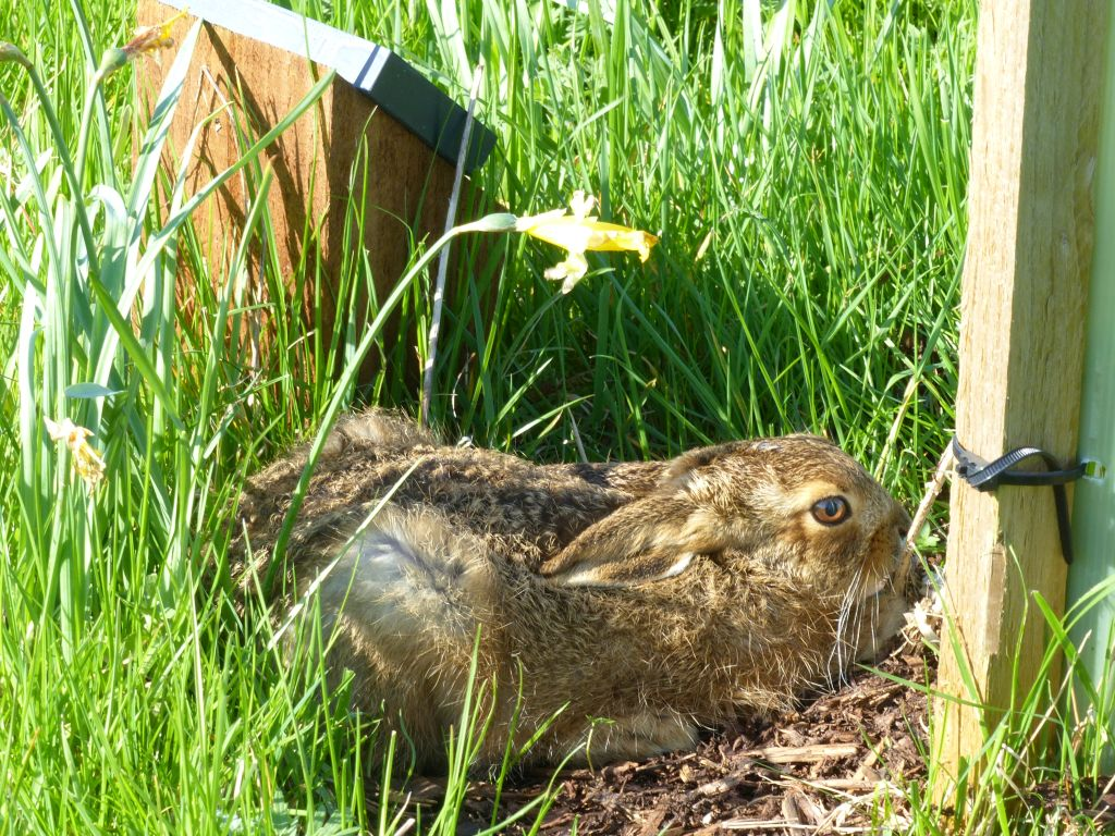Baby Hare (Leveret) lying low by Memorial Tree and Slate Memorial Plaque at Sun Rising Natural Burial Ground and Nature Reserve