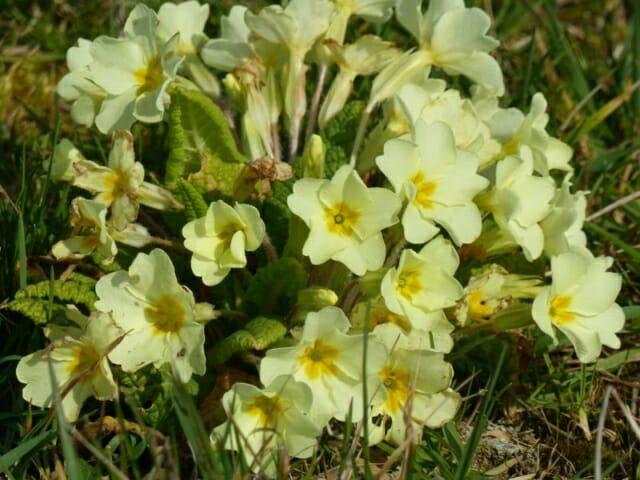 Native Primrose  at Sun Rising Natural Burial Ground and Nature Reserve