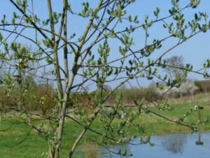 Goat Willow Catkins by the Pond  at Sun Rising Natural Burial Ground and Nature Reserve