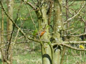 Robin in Crab Apple at Sun Rising Natural Burial Ground and Nature Reserve