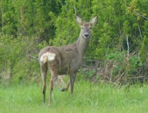 Roe Deer at Sun Rising Natural Burial Ground and Nature Reserve