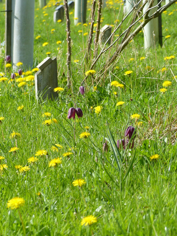 Snakeshead Fritillaries and Dandelions amongst Memorial Trees at Sun Rising Natural Burial Ground and Nature Reserve