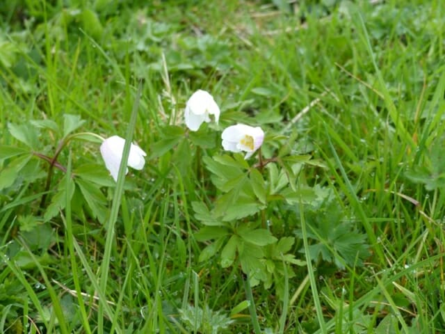 Wood Anemones at Sun Rising Natural Burial Ground and Nature Reserve