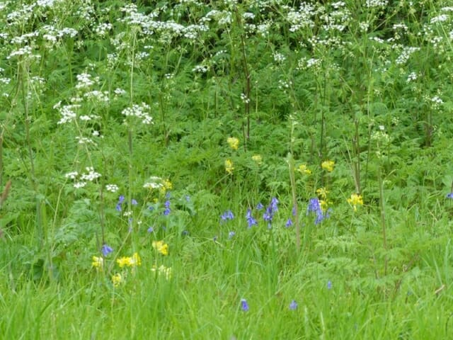 Cow Parsley, Cowslips and English Bluebells at Sun Rising Natural Burial Ground and Nature Reserve
