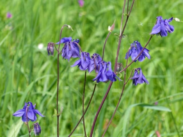 Native Wild Columbine at Sun Rising Natural Burial Ground and Nature Reserve