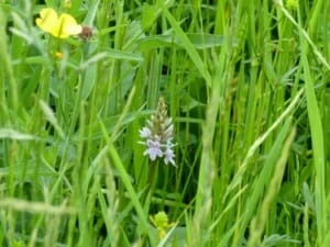 Common Spotted Orchid at Sun Rising Natural Burial Ground and Nature Reserve