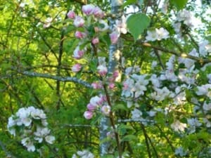 Crab Apple Blossom at Sun Rising Natural Burial Ground and Nature Reserve