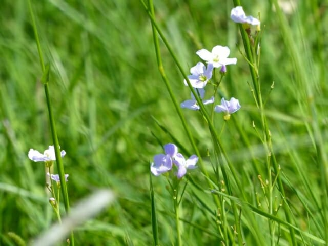 Cuckoo Flowers at Sun Rising Natural Burial Ground and Nature Reserve
