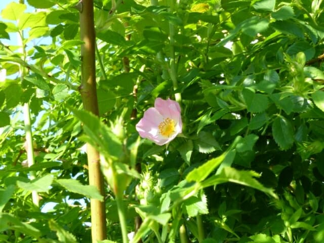 Dog Rose Blossom at Sun Rising Natural Burial Ground and Nature Reserve