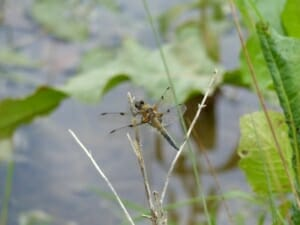 Four Spotted Chaser Dragonfly at Sun Rising Natural Burial Ground and Nature Reserve