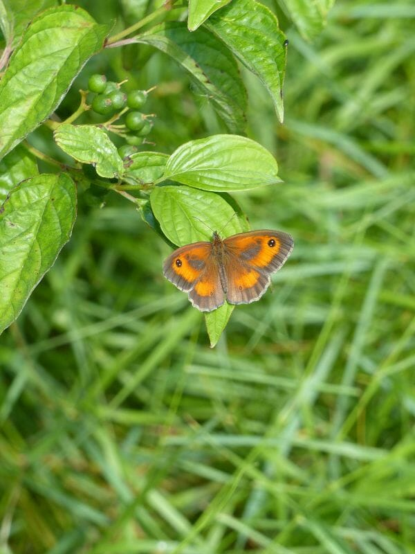 Gatekeeper Butterfly at Sun Rising Natural Burial Ground and Nature Reserve