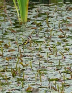 Goldfinch on Broad Leaved Pondweed at Sun Rising Natural Burial Ground and Nature Reserve
