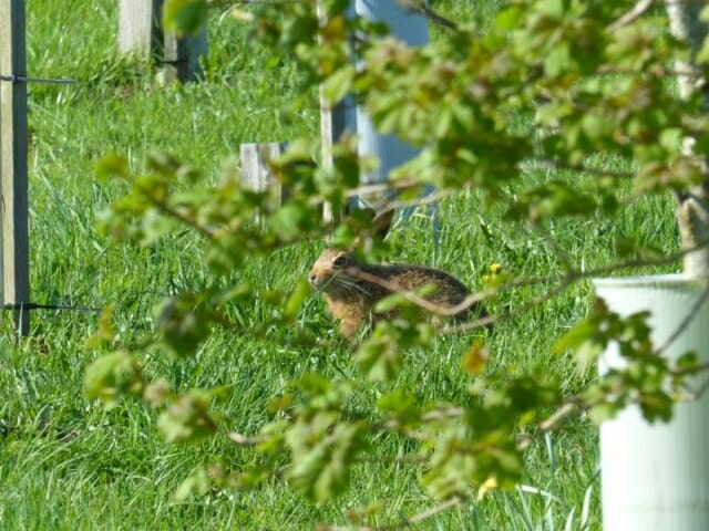 Wild Brown Hare in Peter's Wood at Sun Rising Natural Burial Ground and Nature Reserve
