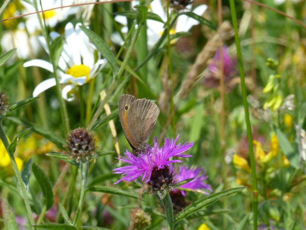 Meadow Brown Butterfly on Common Knapweed at Sun Rising Natural Burial Ground and Nature Reserve