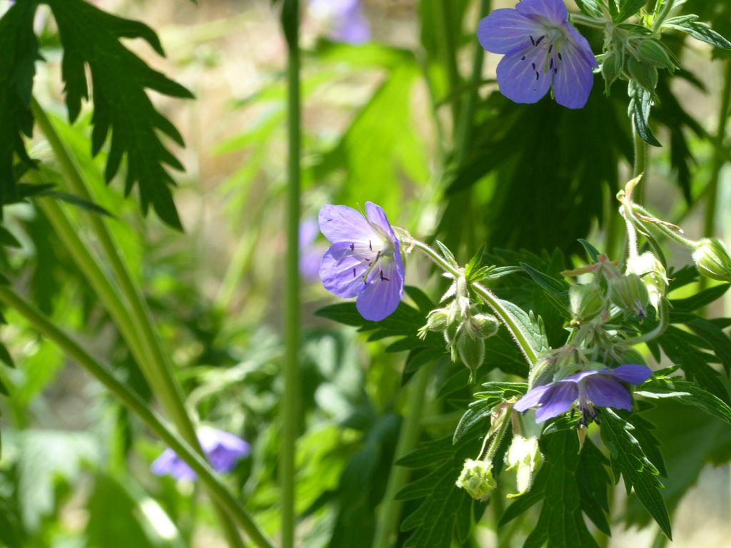 Meadow Cranesbill at Sun Rising Natural Burial Ground and Nature Reserve