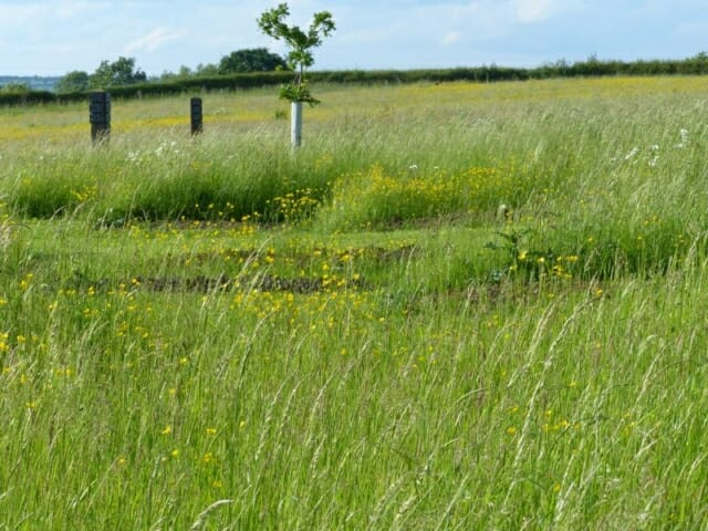 Meadow Graves, Buttercups and Young Memorial Oak at Sun Rising Natural Burial Ground and Nature Reserve