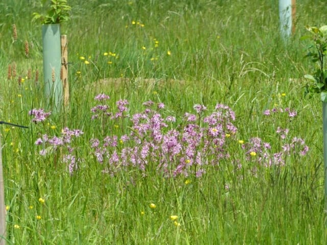 Ragged Robin by Woodland Grave at Sun Rising Natural Burial Ground and Nature Reserve