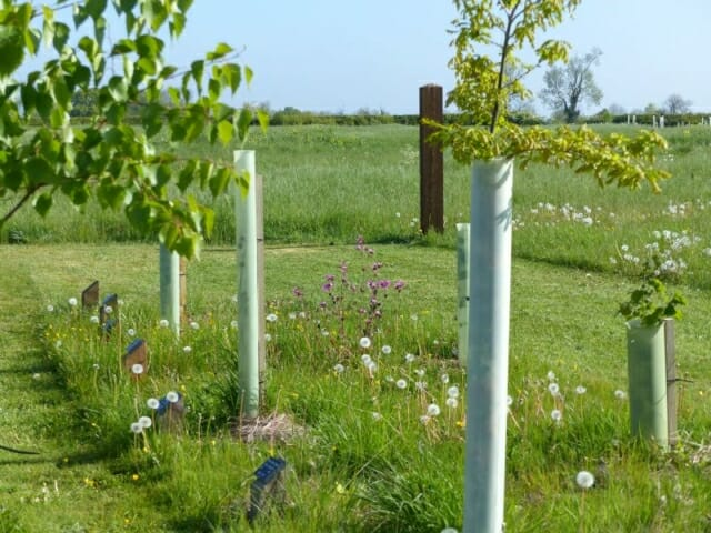 Red Campion and young Memorial Trees in Seth's Wood at Sun Rising Natural Burial Ground and Nature Reserve