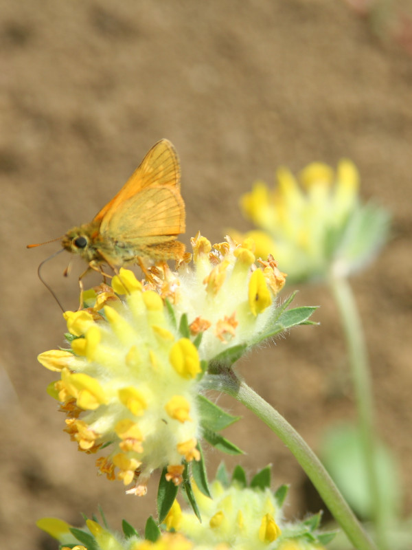 Small Skipper on Kidney Vetch at Sun Rising Natural Burial Ground and Nature Reserve
