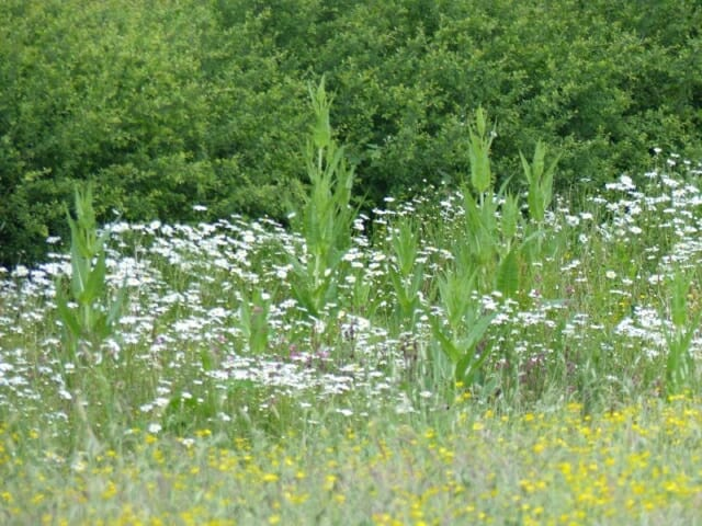 Oxeye Daisies and Teasels in the Tussock Margin at Sun Rising Natural Burial Ground and Nature Reserve