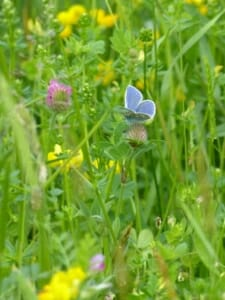 Common Blue on Red Clover in Wildflower Meadow at Sun Rising Natural Burial Ground and Nature Reserve
