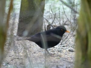 Blackbird at Sun Rising Natural Burial Ground and Nature Reserve