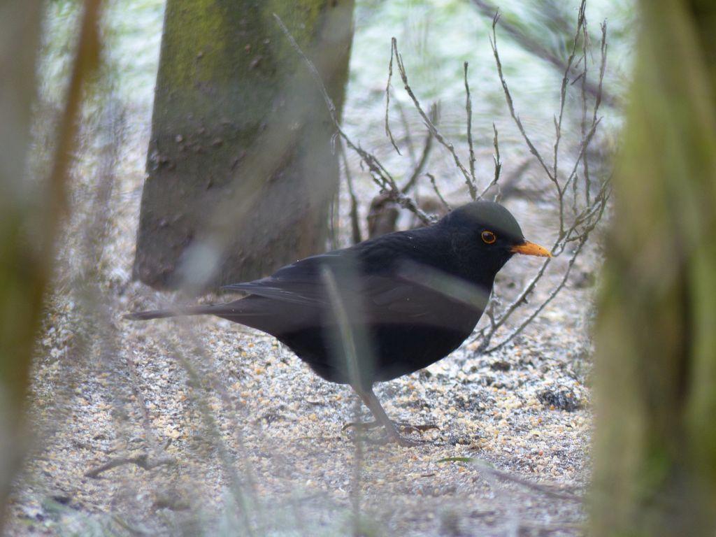 Blackbird at Sun Rising Natural Burial Ground and Nature Reserve