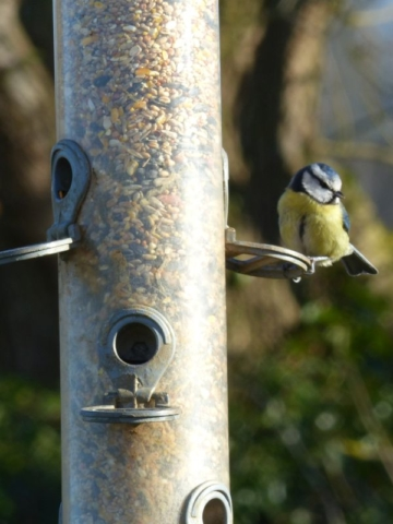 Blue Tit at Birdfeeder at Sun Rising Natural Burial Ground and Nature Reserve