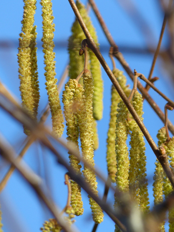 Hazel Catkins at Sun Rising Natural Burial Ground and Nature Reserve
