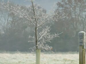 Frosty Oak at Sun Rising Natural Burial Ground and Nature Reserve