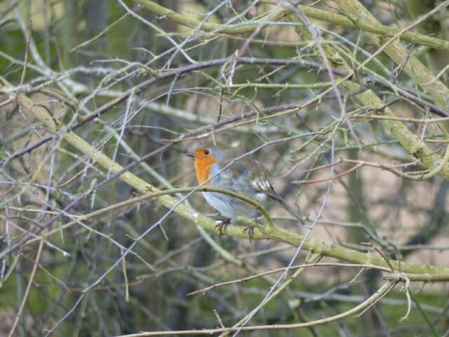 Robin at Sun Rising Natural Burial Ground and Nature Reserve