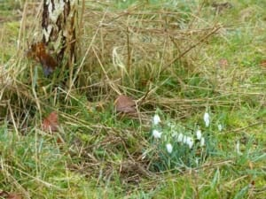 Snowdrops by Silver Birch at Sun Rising Natural Burial Ground and Nature Reserve