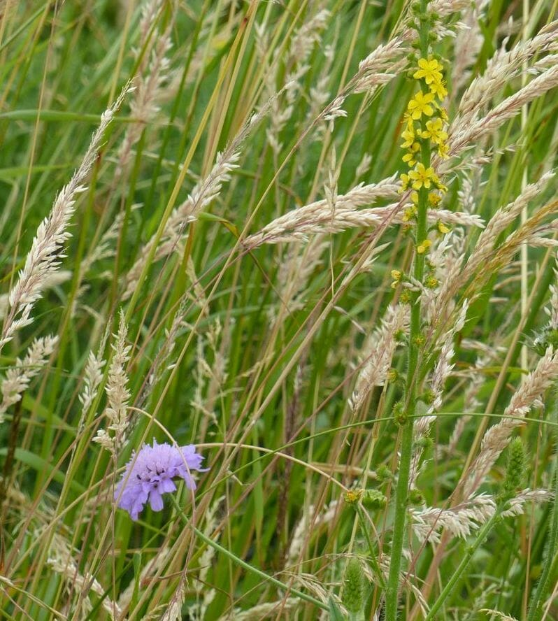 Field Scabious and Agrimony at Sun Rising
