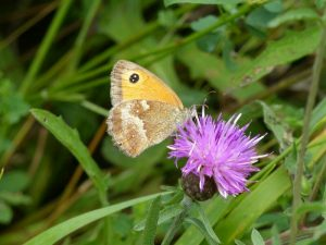 Gatekeeper on Common Knapweed at Sun Rising