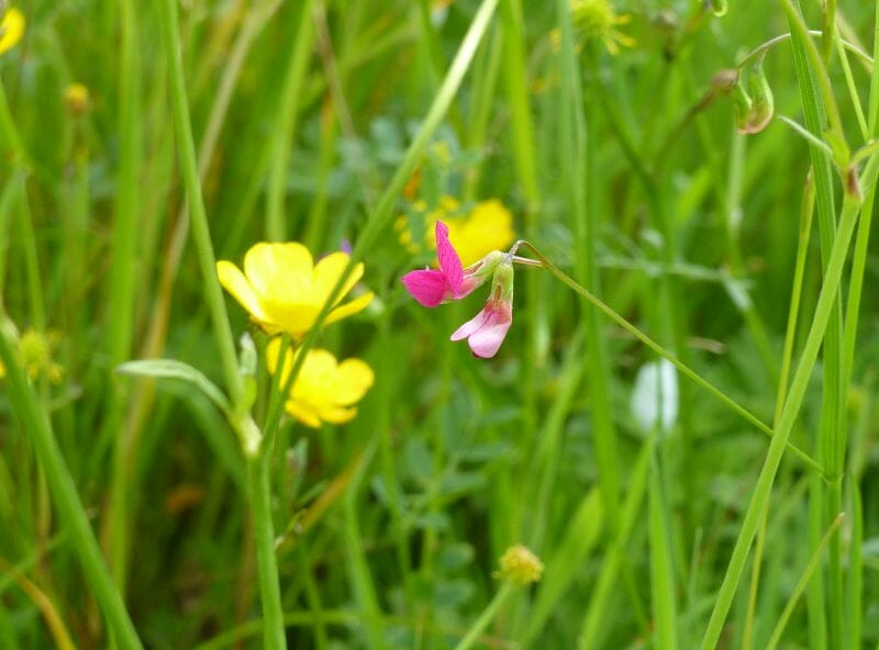 Grass Vetchling and Buttercups at Sun Rising