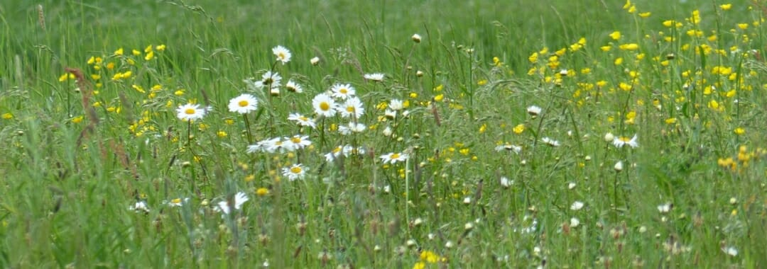 Bereavement Advice banner: oxeye daisies and buttercups against a green grassland background.