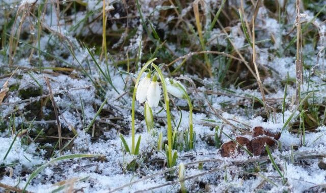 First Snowdrops of the Year at Sun Rising Natural Burial Ground and Nature Reserve