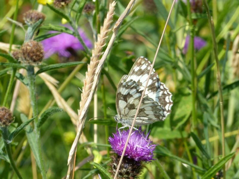 Marbled White on Common Knapweed at Sun Rising