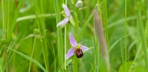 Bee Orchid at Sun Rising