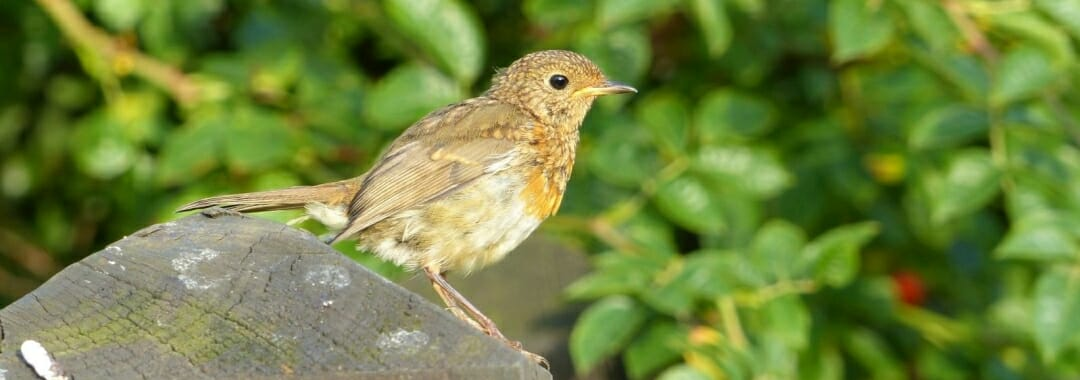 Education banner: juvenile robin perched on a memorial post.